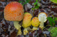 "Nature Winner: Art Boni, ""Amanita Family"""